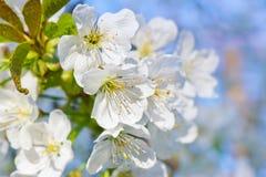Körsbärsröd blomning Arkivfoto