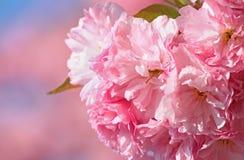 Körsbärsröd blomning Royaltyfria Foton