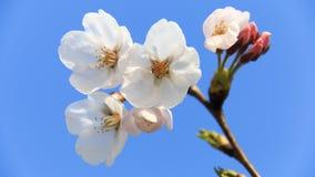 Körsbärsröd blomning Royaltyfri Bild