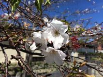 Körsbärsröd blomning Arkivbilder