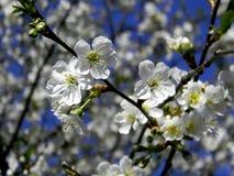 Körsbärsröd blomning Arkivfoton