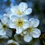Körsbärsröd blomning royaltyfri fotografi