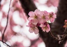 Körsbärsröd blomning Arkivbild