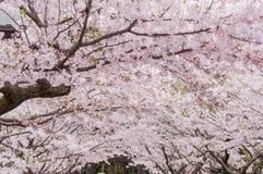 Körsbärsröd blomning Fotografering för Bildbyråer
