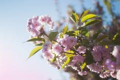 Körsbärsröd blomning, blommande trädgård, vårnaturbakgrund Royaltyfri Foto