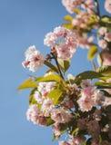 Körsbärsröd blomning, blommande trädgård, vårnaturbakgrund Fotografering för Bildbyråer