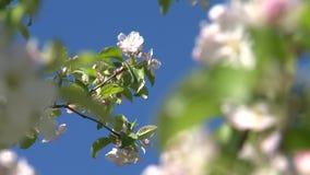 Körsbärsröd blomning Blommor arkivfilmer
