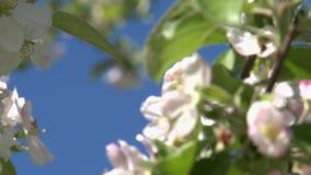 Körsbärsröd blomning Blommor stock video