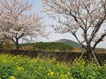 Körsbärsröd blomning & Canolablommor arkivfoto