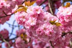 Körsbärsröd blomning: closeup av den härliga blomningfilialen Arkivbild