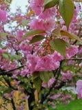 Körsbärsröd blomning efter rainrain royaltyfri bild