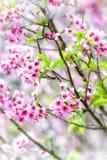 Körsbärsröd blomning eller sakura blommor Fotografering för Bildbyråer