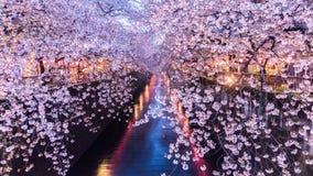 Körsbärsröd blomning eller Sakura på den Meguro kanalen Royaltyfri Bild