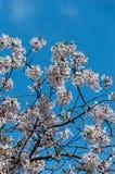 Körsbärsröd blomning, EUR, Rome Royaltyfri Bild