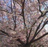 Körsbärsröd blomning för DC royaltyfria bilder
