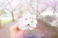 Körsbärsröd blomning för förälskelse i Japan arkivfoton