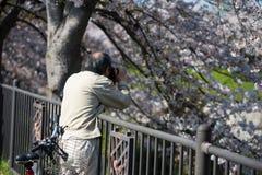 k?rsb?rsr?d blomning f?r fotografi p? den Gojo floden, Nagoya royaltyfri foto