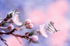Körsbärsröd blomning för härlig sakura blomma med nyckelpigan och fjärilen Mall för bakgrund för hälsningkort Grunt djup Mjuka ro arkivfoton