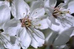 Körsbärsröd blomning för härlig vår Royaltyfria Foton