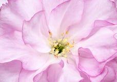 Körsbärsröd blomning för makro Arkivbild
