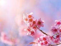 Körsbärsröd blomning för närbild med bakgrund thailändska Sakura Blo för blå himmel Arkivbilder