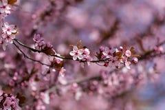 Körsbärsröd blomning för plommon Arkivfoto