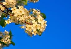 Körsbärsröd blomning för Springtime Fotografering för Bildbyråer