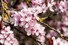 Körsbärsröd blomning för växtstående Arkivbilder
