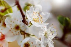 Körsbärsröd blomning för vår Arkivbild
