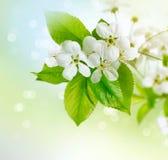 Körsbärsröd blomning för vår Fotografering för Bildbyråer