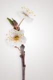 Körsbärsröd blomning för vår, Closeup. Arkivfoton
