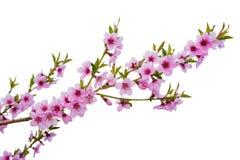 Körsbärsröd blomning för vår som isoleras på vit royaltyfria bilder