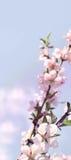Körsbärsröd blomning för vertikalt baner med barngräsplansidor Arkivbilder