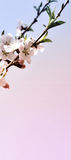 Körsbärsröd blomning för vertikalt baner med barngräsplansidor Arkivfoto