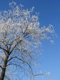 Körsbärsröd blomning för vinter Arkivfoton