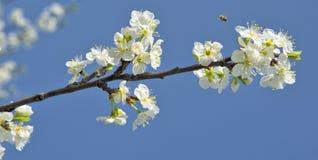 Körsbärsröd blomning. Filial med blommor. Arkivfoto
