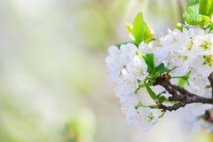 Körsbärsröd blomning, hälsningkort Arkivbild