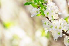 Körsbärsröd blomning, hälsningkort Fotografering för Bildbyråer