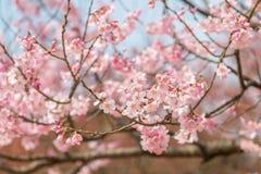 Körsbärsröd blomning i april, sakura filial över bakgrund för blå himmel, Sydkorea, Daejeon Fotografering för Bildbyråer
