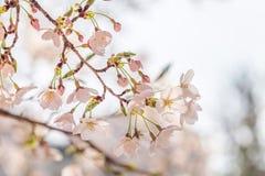 Körsbärsröd blomning i april, sakura filial över bakgrund för blå himmel, Sydkorea, Daejeon Royaltyfri Foto