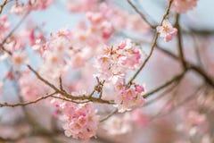 Körsbärsröd blomning i april, sakura filial över bakgrund för blå himmel, Sydkorea, Daejeon Royaltyfri Bild
