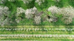 Körsbärsröd blomning i den tidiga våren - flyg- sikt stock video