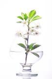 Körsbärsröd blomning i glass vit bakgrund Royaltyfri Bild
