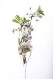 Körsbärsröd blomning i glass vit bakgrund Royaltyfri Foto