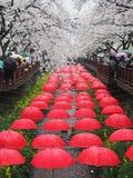 Körsbärsröd blomning i Jinhae Arkivbilder