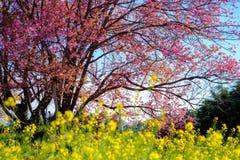 Körsbärsröd blomning i Khun Wang ChiangMai, Thailand arkivfoto