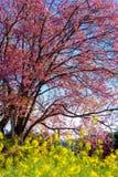 Körsbärsröd blomning i Khun Wang ChiangMai, Thailand arkivfoton