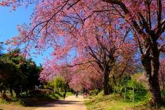 Körsbärsröd blomning i Khun Wang ChiangMai, Thailand royaltyfri foto