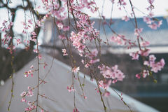 Körsbärsröd blomning i mars, sakura filial över tempelbakgrund, Tokyo, Japan Royaltyfria Foton