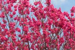 Körsbärsröd blomning i Nya Zeeland Arkivfoton